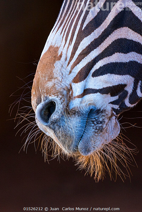 Grevy's zebra (Equus grevyi) close up of muzzle, Captive, occurs in Kenya and Ethiopia, Endangered species.  ,  catalogue8,,Animal,Vertebrate,Mammal,Odd toed ungulate,Grevy zebra,Animalia,Animal,Wildlife,Vertebrate,Mammalia,Mammal,Perissodactyla,Odd toed ungulate,Equidae,Equus,Equus grevyi,Grevy zebra,Nobody,Pattern,Patterned,Patterns,Stripes,Facial Expression,Smiling,Africa,East Africa,Ethiopia,Kenya,Plain Background,Black Background,Profile,Vertical,Close Up,Side View,Mouth,Animal Nose,Nose,Noses,Hair,Outdoors,Open Air,Outside,Day,Whiskers,Animal Hair,Endagnered species,Endangered  ,  Juan  Carlos Munoz