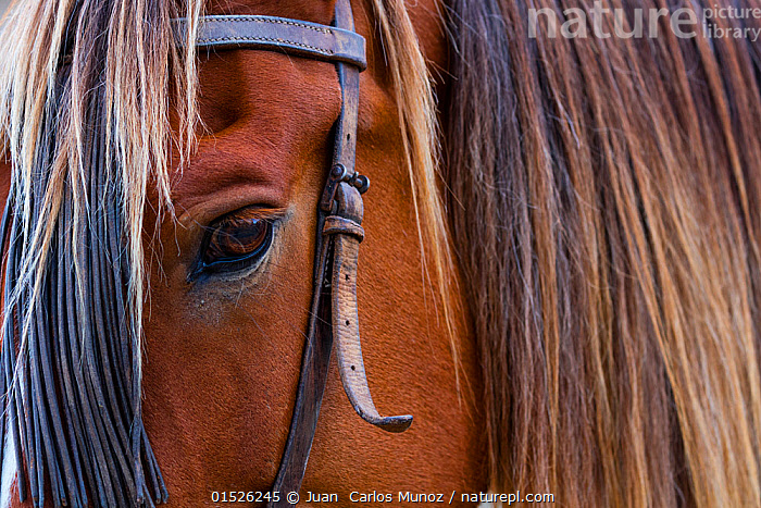 Close up of horse wearing bridle, Sierra de Gredos, Avila, Castile and Leon, Spain.  ,  catalogue8,,,Alertness,Alert,Colour,Brown,Nobody,Part Of,Europe,Southern Europe,Iberian Peninsula,Spain,Castile and Leon,Close Up,Animal,Animal Eye,Animal Eyes,Eye,Eyes,Mane,Manes,Buckle,Buckles,Riding Tack,Tack,Tacks,Bridle,Bridles,Outdoors,Open Air,Outside,Brown Colour,Sierra de Gredos,  ,  Juan  Carlos Munoz