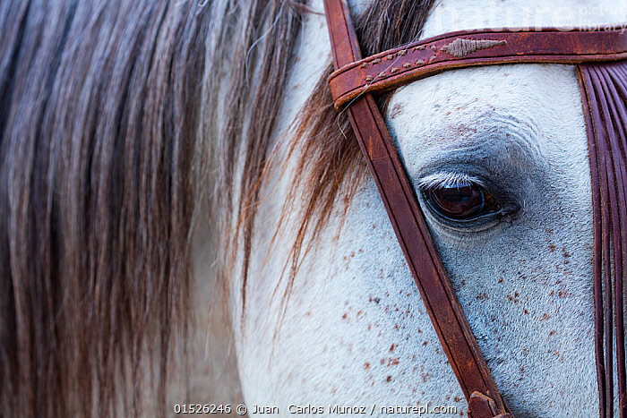 Close up of horse wearing bridle, Sierra de Gredos, Avila, Castile and Leon, Spain.  ,  catalogue8,,,Thinking,Thoughtful,Alertness,Alert,Care,Caring,Gentleness,Gently,Sadness,Colour,Brown,Grey,Gray,White,Nobody,Part Of,Europe,Southern Europe,Iberian Peninsula,Spain,Castile and Leon,Avila,Full Frame,Close Up,Animal,Animal Eye,Animal Eyes,Eye,Eyes,Mane,Manes,Equipment,Riding Tack,Tack,Tacks,Harnesses,Bridle,Bridles,Leather,Outdoors,Open Air,Outside,Day,White colour,Brown Colour,Sierra de Gredos,  ,  Juan  Carlos Munoz