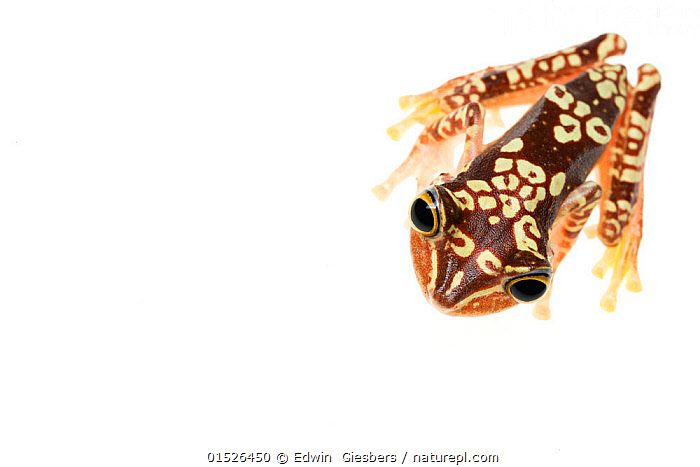Imbabura treefrog (Hypsiboas picturatus) viewed from above, in Colombia and Ecuador., Animal,Vertebrate,Frog,Tree frog,Imbabura treefrog,Animalia,Animal,Wildlife,Vertebrate,Amphibia,Anura,Frog,Hylidae,Tree frog,Hypsiboas,Hypsiboas picturatus,Imbabura treefrog,Pattern,Patterned,Patterns,Africa,Cutout,Plain Background,White Background,High Angle View,Elevated view,Amphibian,, Edwin  Giesbers
