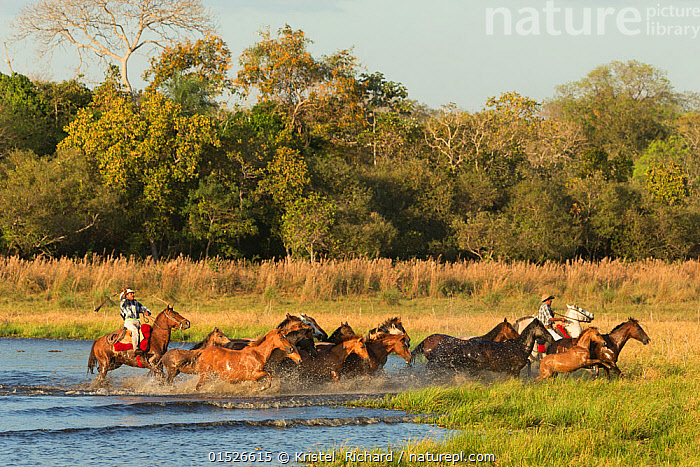 Two cowboys mounted on a Pantaneiro stallion, round up a band of wild Pantaneiro horses, Pantanal, Mato Grosso do Sul, Brazil. August 2015., Equus ferus caballus,Equus caballus,Pantanal wetlands,Galloping,Gallop,Gallops,Herding,Running,People,Man,Cowboy,Cowboys,Rancher,Ranchers,Group Of Animals,Herd,Group,Latin America,South America,Brazil,Animal,Freshwater,Wetland,Water,Domestic animal,Domestic Horse,Domesticated,Equus ferus caballus,Equus caballus,Horse,Pantanal,Pantanal wetlands,Mato Grosso do Sul,Pantaneiros,Mammal,Roundups,Men,Groups,Wetlands,Horses,Animals,Mammals,Equus ferus caballus,Equus caballus,Pantanal wetlands, catalogue9, Kristel  Richard