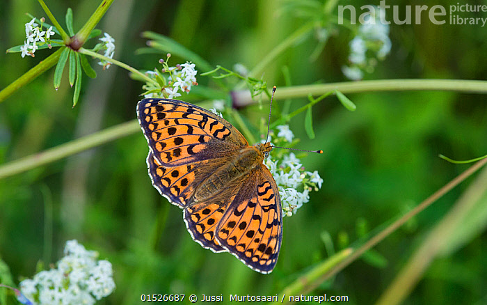 Niobe fritillary butterfly (Argynnis niobe), female on flower, Uusimaa,  Finland, July.  ,  Animal,Arthropod,Insect,Brushfooted butterfly,Mountain fritillary,Niobe fritillary,Animalia,Animal,Wildlife,Hexapoda,Arthropod,Invertebrate,Hexapod,Arthropoda,Insecta,Insect,Lepidoptera,Lepidopterans,Nymphalidae,Brushfooted butterfly,Fourfooted butterfly,Nymphalid,Butterfly,Papilionoidea,Issoria,Mountain fritillary,Longwing,Heliconian,Heliconninae,Argynnis niobe,Niobe fritillary,Papilio niobe,Argynnis eris,Fabriciana niobe,Europe,Northern Europe,North Europe,Nordic Countries,Finland,Female animal,Plant,Flower,Flowers,  ,  Jussi  Murtosaari