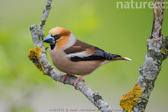 Hawfinch (Coccothraustes coccothraustes), male with  ticks on face, Uto, Finland, May.  ,  Animal,Vertebrate,Bird,Birds,Songbird,True finch,Holarctic grosbeak,Hawfinch,Animalia,Animal,Wildlife,Vertebrate,Aves,Bird,Birds,Passeriformes,Songbird,Passerine,Fringillidae,True finch,Finch,Coccothraustes,Holarctic grosbeak,Cardueline finch,Carduelinae,Coccothraustes coccothraustes,Hawfinch,Loxia coccothraustes,Europe,Northern Europe,North Europe,Nordic Countries,Finland,Copy Space,Profile,Side View,Male Animal,Negative space,  ,  Jussi  Murtosaari