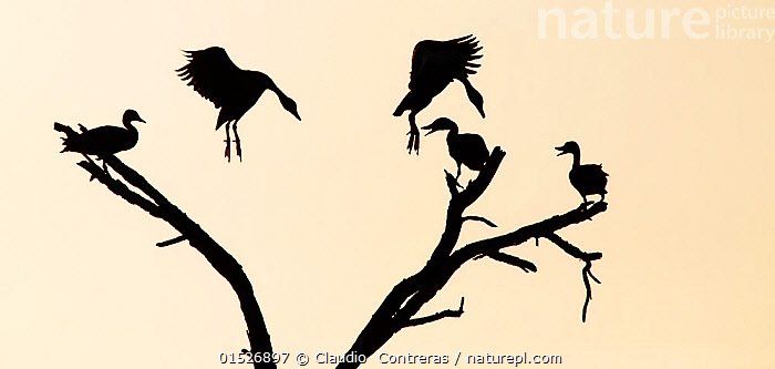 Black-bellied whistling-duck (Dendrocygna autumnalis) silhouetted in tree, with two landing, Laredo Borderlands, Texas, USA. April  ,  catalogue8,,Animal,Vertebrate,Bird,Birds,Water fowl,Waterfowl,Whistling duck,Black bellied whistling duck,American,Animalia,Animal,Wildlife,Vertebrate,Aves,Bird,Birds,Anseriformes,Water fowl,Galloanserans,Waterfowl,Anatidae,Dendrocygna,Whistling duck,Tree duck,Dendrocygna autumnalis,Black bellied whistling duck,Black bellied tree duck,Red billed tree duck,Red billed Whistling duck,Flying,Landing,Greeting,Arrival,Group,Medium Group,Nobody,North America,USA,Southern USA,Texas,Plain Background,Back Lit,Backlit,Plant,Tree,Outdoors,Open Air,Outside,Day,Nature,Natural,Natural World,Wild,Silhouette,Flight,Cream Background,Five animals,American,Laredo,Wildfowl  ,  Claudio  Contreras