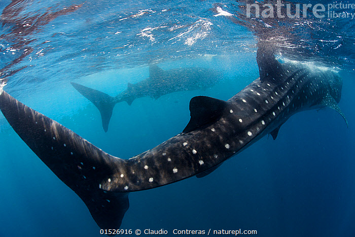 Whale shark (Rhincodon typus) feeding view of tail, Isla Mujeres, Caribbean Sea, Mexico, August. Vulnerable species.  ,  catalogue8,,Animal,Vertebrate,Cartilaginous fish,Carpet shark,Whale sharks,Whale shark,Animalia,Animal,Wildlife,Vertebrate,Chondrichthyes,Cartilaginous fish,Jawed fish,Orectolobiformes,Carpet shark,Rhincodontidae,Whale sharks,Rhincodon,Rhincodon typus,Whale shark,Micristodus punctatus,Rhiniodon typus,Rhinodon typicus,Agility,Agile,Threat,Menace,Menaces,Menacing,Threatening,Threats,Colour,Blue,Two,Nobody,Part Of,Pattern,Patterned,Patterns,Spotted,Latin America,Central America,Mexico,Close Up,Rear View,Tail,Tail Fin,Tail Fins,Tropical,Ocean,Caribbean Sea,Atlantic Ocean,Nature,Natural,Natural World,Endangered Species,Threatened,Marine,Underwater,Water,Feeding,Saltwater,Sea,Tropics,Shark,Two animals,Animal marking,Sealife,Surface,Vulnerable species,Isla Mujeres,Blue Colour,Endangered species,threatened,Vulnerable,Marine  ,  Claudio  Contreras