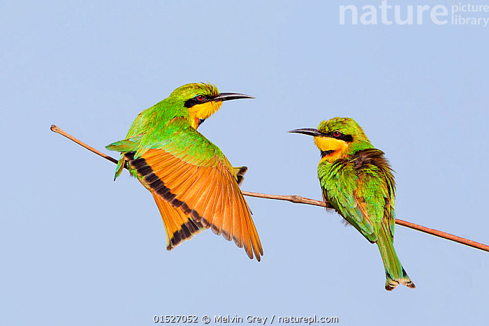 Little bee-eater (Merops pusillus) adults perched, Kotu,  The Gambia., Animal,Vertebrate,Bird,Birds,Bee eater,Little bee eater,Animalia,Animal,Wildlife,Vertebrate,Aves,Bird,Birds,Coraciiformes,Meropidae,Bee eater,Merops,Merops pusillus,Little bee eater,Two,Africa,West Africa,Gambia,The Gambia,West African,, Melvin Grey