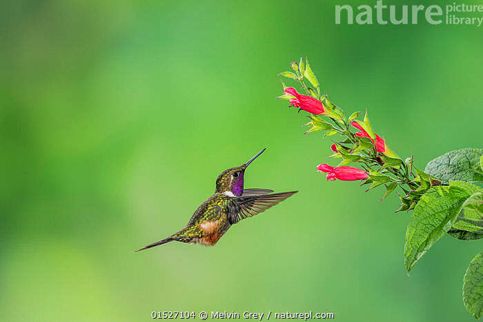 Purple-throated woodstar hummingbird (Calliphlox mitchellii) hummingbird adult male, approaching food plant. Tandayapa Lodge,  Ecuador  ,  Animal,Vertebrate,Bird,Birds,Hummingbird,Purple throated woodstar,Animalia,Animal,Wildlife,Vertebrate,Aves,Bird,Birds,Apodiformes,Trochilidae,Hummingbird,Calliphlox,Calliphlox mitchellii,Purple throated woodstar,Mitchell�s woodstar,Philodice mitchellii,Flying,Grace,Latin America,South America,Ecuador,Copy Space,Profile,Side View,Male Animal,Plant,Flower,Feeding,Flight,Negative space,  ,  Melvin Grey