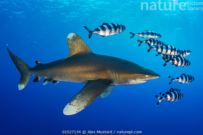 Oceanic whitetip shark (Carcharhinus longimanus) accompanied by a group of Pilotfish (Naucrates ductor). Rocky Island, Egypt. Red Sea, Animal,Wildlife,Vertebrate,Cartilaginous fish,Ground shark,Requiem sharks,Oceanic whitetip shark,Ray-finned fish,Percomorphi,Jack,Pilot fish,Animalia,Animal,Wildlife,Vertebrate,Chondrichthyes,Cartilaginous fish,Jawed fish,Carcharhiniformes,Ground shark,Carcharhinidae,Requiem sharks,Carcharhinus,Carcharhinus longimanus,Oceanic whitetip shark,Pterolamiops longimanus,Carcharias longimanus,Carcharias insularum,Actinopterygii,Ray-finned fish,Osteichthyes,Bony fish,Fish,Perciformes,Percomorphi,Acanthopteri,Carangidae,Jack,Jack fishes,Naucrates,Naucrates ductor,Pilot fish,Gasterosteus ductor,Hemitripteronotus quinquemaculatus,Nauclerus abreviatus,Swimming,Group Of Animals,School ,Group,Africa,North Africa,Northern Africa,Egypt,Tropical,Red Sea,Marine,Underwater,Water,Mixed species,Saltwater,Sea,Shark,Escorting,Animals,Vertebrates,Chordates,Cartilaginous fishes,Jawed fishes,Ground sharks,Sharks,Ray-finned fishes,Bony fishes,Fishes,Jacks,Groups,Seas,Animal,Wildlife,Vertebrate,Cartilaginous fish,Ground shark,Requiem sharks,Oceanic whitetip shark,Ray-finned fish,Percomorphi,Jack,Pilot fish, catalogue9, Alex Mustard