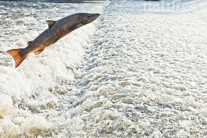 Atlantic salmon (Salmo salar) leaping a weir, Shrewsbury, River Severn, Shropshire, England, UK. November.  ,  catalogue8,,Animal,Vertebrate,Ray-finned fish,Percomorphi,Salmonid,Atlantic salmon,Animalia,Animal,Wildlife,Vertebrate,Actinopterygii,Ray-finned fish,Osteichthyes,Bony fish,Fish,Perciformes,Percomorphi,Acanthopteri,Salmonidae,Salmonid,Salmo,Salmo salar,Atlantic salmon,Black salmon,Bay salmon,Diffler,Kelt,Spring salmon,Trutta salar,Salmo salmo,Salmo nobilis,Migrating,Migration,Jumping,Determination,Effort,Exertion,Trying,On The Move,Mid Air,Nobody,Europe,Western Europe,UK,Great Britain,England,Shropshire,Shrewsbury,Full Length,Full Lengths,Whole,Close Up,Infrastructure,Water Management Infrastructure,Water Storage Structure,Water Storage Structures,Weir,Weirs,Flowing Water,River,Outdoors,Open Air,Outside,Day,Nature,Natural,Natural World,Wild,Freshwater,Water Surface,Water,Animal Behaviour,Behaviour,Moving,Upstream,Gradient,Uphill,  ,  Will Watson