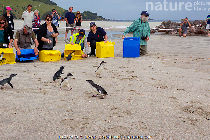 People releasing Little penguins (Eudyptula minor) back to the sea after being rehabilitated following the MV Rena oil spill, Mount Maunganui Beach, Bay of Plenty, New Zealand, November 2011., Animal,Vertebrate,Bird,Birds,Penguin,Little penguin,Animalia,Animal,Wildlife,Vertebrate,Aves,Bird,Birds,Sphenisciformes,Penguin,Seabird,Spheniscidae,Eudyptula,Eudyptula minor,Little penguin,Fairy penguin,Blue penguin,Little blue penguin,Releasing,People,Group,Australasia,New Zealand,North Island,Beach,Environment,Environmental Issues,Environmental Damage,Coast,Coastal,Biodiversity hotspot,Marine Pollution,Oil Spill,Marine bird,Marine birds,Pelagic bird,Pelagic birds,Flightless, Brent  Stephenson