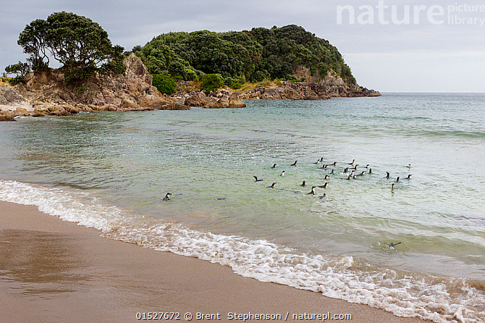 Little penguins (Eudyptula minor) swimming back out to sea after release following rehabilitation during the MV Rena oil spill, Mount Maunganui Beach, Bay of Plenty, New Zealand, November 2011., Animal,Vertebrate,Bird,Birds,Penguin,Little penguin,Animalia,Animal,Wildlife,Vertebrate,Aves,Bird,Birds,Sphenisciformes,Penguin,Seabird,Spheniscidae,Eudyptula,Eudyptula minor,Little penguin,Fairy penguin,Blue penguin,Little blue penguin,Releasing,Swimming,Group,Australasia,New Zealand,North Island,Landscape,Landscapes,Environment,Environmental Issues,Environmental Damage,Coast,Marine,Coastal,Water,Temperate,Saltwater,Biodiversity hotspot,Marine Pollution,Surface,Oil Spill,Marine bird,Marine birds,Pelagic bird,Pelagic birds,Flightless, Brent  Stephenson