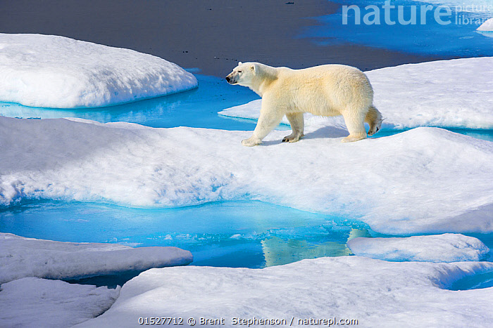Young Polar bear (Ursus maritimus) walking across melting sea ice, Scott Inlet, Baffin Island, Canadian Arctic, August. Vulnerable species.  ,  catalogue8,,Animal,Vertebrate,Mammal,Carnivore,Bear,Polar bear,Animalia,Animal,Wildlife,Vertebrate,Mammalia,Mammal,Carnivora,Carnivore,Ursidae,Bear,Ursus,Ursus maritimus,Polar bear,Ursus labradorensis,Ursus marinus,Ursus polaris,Thawing,Walking,Confidence,Journey,On The Move,Alone,Solitude,Solitary,Colour,Blue,Nobody,North America,Canada,Nunavut,Arctic,Polar,Full Length,Full Lengths,Whole,High Angle View,Side View,Young Animal,Juvenile,Reflection,Ice,Outdoors,Open Air,Outside,Day,Exploration,Nature,Natural,Natural World,Endangered Species,Threatened,Wild,Animals In The Wild,Animal In The Wild,Wild Animal,Wild Animals,Culture,Canadian Culture,Canadian,Marine,Water,Saltwater,Sea,Elevated view,Moving,Vulnerable species,Sea ice,Baffin Island,Blue Colour,Scott Inlet,Endangered species,threatened,Vulnerable  ,  Brent  Stephenson
