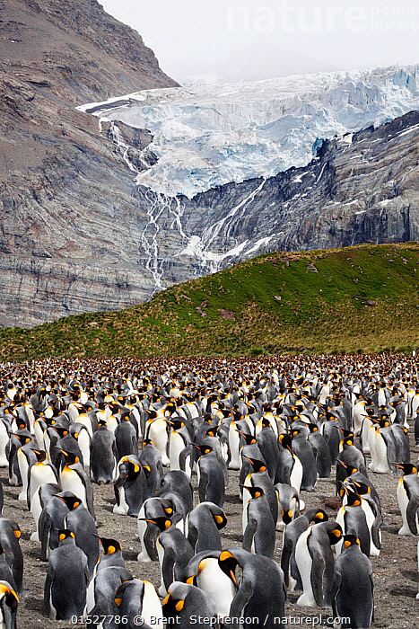King penguin (Aptenodytes patagonicus) breeding colony with adults incubating eggs, Bertrab Glacier in the background, Gold Harbour, South Georgia, South Atlantic, January.  ,  catalogue8,,Animal,Vertebrate,Bird,Birds,Penguin,King penguin,Animalia,Animal,Wildlife,Vertebrate,Aves,Bird,Birds,Sphenisciformes,Penguin,Seabird,Spheniscidae,Aptenodytes,Aptenodytes patagonicus,King penguin,Approaching,Approach,Approaches,Approachs,Standing,Anticipation,Community,Communities,Confusion,Dilemma,Dilemmas,Mood,Ominous,Foreboding,Threat,Menace,Menaces,Menacing,Threatening,Threats,Togetherness,Close,Together,Indecisive,Group Of Animals,Animal Colony,Group,Large Group,Nobody,Temperature,Cold,Vertical,Animal Home,Nest,Nesting,Cliff,Ice,Glacier,Glacial,Glaciers,Landscape,Landscapes,Outdoors,Open Air,Outside,Day,Animal Behaviour,Brooding,Parental behaviour,Behaviour,Incubating,Parental,Multitude,Subantarctic islands,South Georgia Island,Breeding,Bertrab Glacier,Gold Harbour,Marine bird,Marine birds,Pelagic bird,Pelagic birds,Flightless  ,  Brent  Stephenson