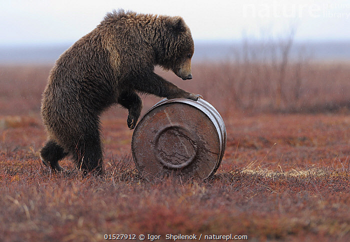 Young female Kamchatka brown bear (Ursus arctos beringianus) playing with oil drum, Kronotsky Nature Reserve, Kamchatka, Far East Russia. May. These bears can develop addiction to sniffing the aviation fuel left behind in oil drums in the reserve., Addiction,Fuel,Oil,Kerosene,Gasolene,Oil drum,catalogue8,,Animal,Vertebrate,Mammal,Carnivore,Bear,Brown Bear,Kamchatka brown bear,Animalia,Animal,Wildlife,Vertebrate,Mammalia,Mammal,Carnivora,Carnivore,Ursidae,Bear,Ursus,Ursus arctos,Brown Bear,Rolling,Walking,Standing,Smelling,Sniffing,Addiction,Bizarre,Weird,Curiosity,Humorous,Skill,Nobody,Russia,Side View,Female animal,Container,Containers,Storage Tank,Storage Tanks,Oil Drum,Oil Drums,Outdoors,Open Air,Outside,Day,Environment,Environmental Issues,Environmental Damage,Animal Behaviour,Playing,Reserve,Behaviour,Play,Playful,Kamchatka brown bear,Protected area,Russian Far East,Standing on hind legs,Using Senses,Pollutant,,,Skill, Efficiency,, Igor  Shpilenok