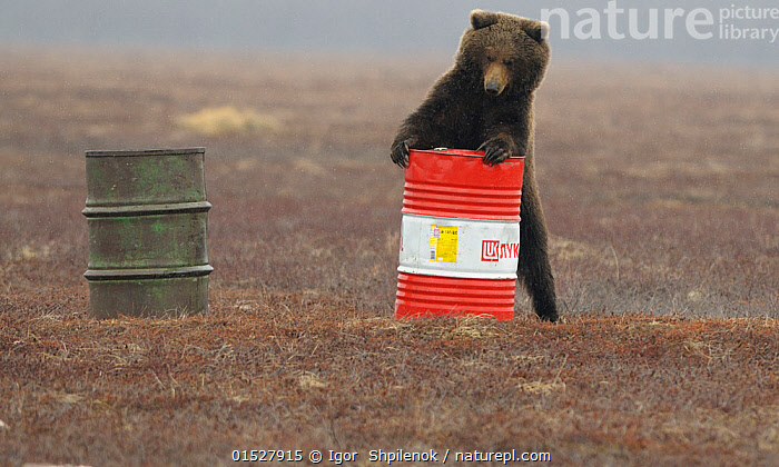 Young female Kamchatka brown bear (Ursus arctos beringianus) playing with oil drum, Kronotsky Nature Reserve, Kamchatka, Far East Russia. May. These bears can develop addiction to sniffing the aviation fuel left behind in oil drums in the reserve., Addiction,Fuel,Oil,Kerosene,Gasolene,Oil drum,,,Animal,Vertebrate,Mammal,Carnivore,Bear,Brown Bear,Kamchatka brown bear,Animalia,Animal,Wildlife,Vertebrate,Mammalia,Mammal,Carnivora,Carnivore,Ursidae,Bear,Ursus,Ursus arctos,Brown Bear,Smelling,Sniffing,Addiction,Bizarre,Weird,Curiosity,Humorous,Russia,Female animal,Environment,Environmental Issues,Environmental Damage,Animal Behaviour,Reserve,Behaviour,Kamchatka brown bear,Protected area,Russian Far East,Using Senses,Pollutant,, Igor  Shpilenok