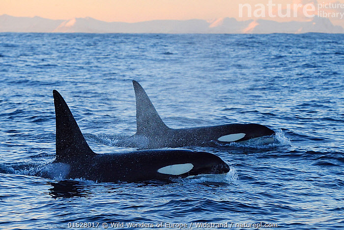 RF- Two Orcas / Killer whales (Orcinus orca) surfacing, Senja, Troms County, Norway, Scandinavia, January. Cetaceans are attracted to this area to feed on large numbers of spawning Herring fish. (This image may be licensed either as rights managed or royalty free.)  ,  RF16Q4,,Animal,Vertebrate,Mammal,Ceteacean,Oceanic dolphin,Killer Whale,Animalia,Animal,Wildlife,Vertebrate,Mammalia,Mammal,Cetacea,Ceteacean,Delphinidae,Oceanic dolphin,Dolphin,Odontoceti,Orcinus,Orcinus orca,Killer Whale,Orca,Orcinus gladiator,Orcinus ater,Orcinus capensis,On The Move,Speed,Partnership,Two,Nobody,Europe,Northern Europe,North Europe,Nordic Countries,Scandinavia,Norway,Tromso,Troms,Arctic,Polar,Profile,Side View,Ocean,Atlantic Ocean,Winter,Day,Nature,Marine Life,Sea Life,Wild,Animals In The Wild,Animal In The Wild,Wild Animal,Wild Animals,Coast,Marine,Water Surface,Coastal,Water,Animal Behaviour,Temperate,Behaviour,Saltwater,Sea,Surfacing,Wild wonders of Europe,WWE,Rewilding,Two animals,Moving,Surface,Senja,Staffan Widstrand,RF,Royalty free,RFCAT1,RF16Q4,Marine  ,  Wild  Wonders of Europe / Widstrand