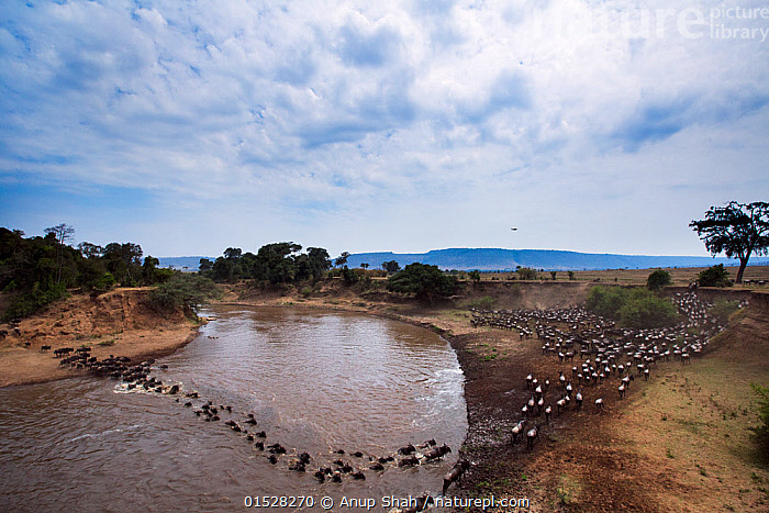 Eastern White-bearded Wildebeest (Connochaetes taurinus) herd crossing the Mara River. Masai Mara National Reserve, Kenya., Animal,Wildlife,Vertebrate,Mammal,Bovid,Wildebeest,Blue Wildebeest,Animalia,Animal,Wildlife,Vertebrate,Mammalia,Mammal,Artiodactyla,Even-toed ungulates,Bovidae,Bovid,ruminantia,Ruminant,Connochaetes,Wildebeest,Connochaetes taurinus,Blue Wildebeest,Common Wildebeest,Migrating,Migration,Crossing,Group Of Animals,Herd,Group,Africa,East Africa,Kenya,High Angle View,Plain,Plains,Flowing Water,River,Landscape,Savanna,Freshwater,Water,Animal Behaviour,Reserve,Protected area,Elevated view,Mara River,Animals,Vertebrates,Chordates,Mammals,Bovids,Ruminants,Wildebeests,Groups,Rivers,Landscapes,Reserves,Animal,Wildlife,Vertebrate,Mammal,Bovid,Wildebeest,Blue Wildebeest,high16, Anup Shah