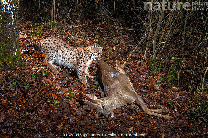 Wild European lynx (Lynx lynx) with Roe deer prey (Capreolus capreolus) at night, Jura Mountains, Switzerland, January. Taken with remote camera.  Contact us to download file - minimum fees apply.  ,  Animal,Wildlife,Vertebrate,Mammal,Carnivore,Cat,Lynx,Animalia,Animal,Wildlife,Vertebrate,Mammalia,Mammal,Carnivora,Carnivore,Felidae,Cat,Lynx,Lynx lynx,Felis lynx,Europe,Western Europe,Switzerland,Night,Feeding,Scavenging,Forest,,, catalogue11  ,  Laurent Geslin