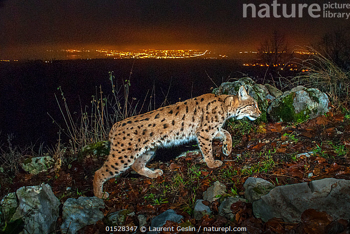 Wild European lynx (Lynx lynx) at night with city lights and sky glow behind, Switzerland. December. Taken with remote camera trap., Animal,Wildlife,Vertebrate,Mammal,Carnivore,Cat,Lynx,Animalia,Animal,Wildlife,Vertebrate,Mammalia,Mammal,Carnivora,Carnivore,Felidae,Cat,Lynx,Lynx lynx,Felis lynx,Europe,Western Europe,Switzerland,Profile,Side View,Artifical light,Electric Light,Night,Environment,Environmental Issues,Environmental Damage,Animals,Vertebrates,Chordates,Mammals,Carnivores,Cats,Lynxes,Electrical Lights,Nights,Animal,Wildlife,Vertebrate,Mammal,Carnivore,Cat,Lynx, catalogue9, Laurent Geslin