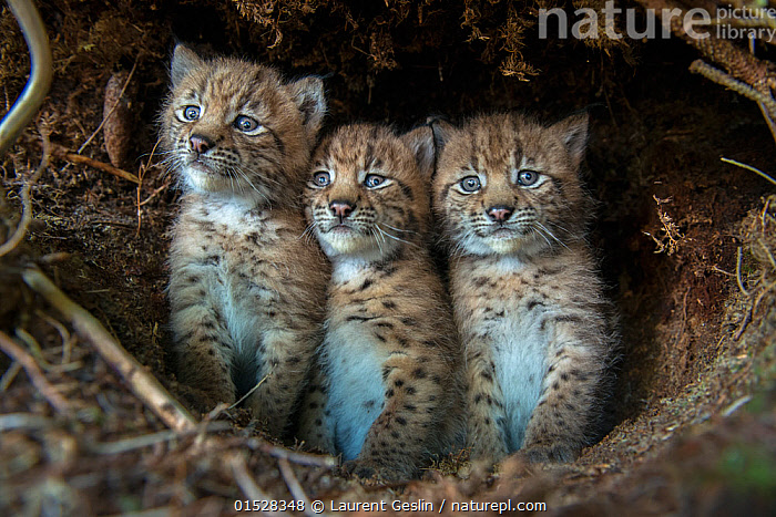 European lynx (Lynx lynx) kittens in den, after being tagged by the biologists from KORA, Simmental Valley, Switzerland, June. Contact us to download file - minimum fees apply., Animal,Wildlife,Vertebrate,Mammal,Carnivore,Cat,Lynx,Animalia,Animal,Wildlife,Vertebrate,Mammalia,Mammal,Carnivora,Carnivore,Felidae,Cat,Lynx,Lynx lynx,Felis lynx,Cute,Adorable,Innocence,Innocent,Vulnerability,Vulnerable,Vunerability,Vunerable,Few,Three,Group,Europe,Western Europe,Switzerland,Young Animal,Baby,Baby Mammal,Kitten,Kittens,Animal Den,Den,Animals,Vertebrates,Chordates,Mammals,Carnivores,Cats,Lynxes,Groups,Juveniles,Young Animals,Baby Animals,Animal Dens,Dens,Babies,Animal,Wildlife,Vertebrate,Mammal,Carnivore,Cat,Lynx, catalogue9, Laurent Geslin