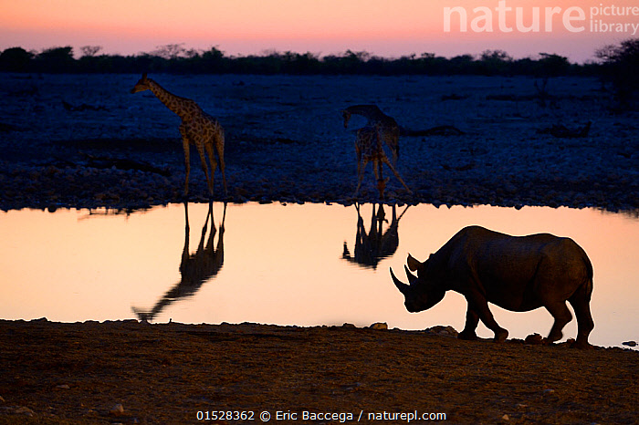 Angolan giraffes (Giraffa camelopardalis angolensis) and black rhinoceros (Diceros bicornis) reflecting in waterhole at sunset, Okaukuejo, Etosha National Park, Namibia, Africa  ,  Animal,Vertebrate,Mammal,Giraffid,Giraffe,Odd toed ungulate,Rhinoceros,Black rhino,Black Rhinoceros,Angolan giraffe,Animalia,Animal,Wildlife,Vertebrate,Mammalia,Mammal,Artiodactyla,Even-toed ungulates,Giraffidae,Giraffid,Ruminant,Giraffa,Giraffe,Giraffa camelopardalis,Perissodactyla,Odd toed ungulate,Rhinocerotidae,Rhinoceros,Rhino,Diceros,Black rhino,Diceros bicornis,Black Rhinoceros,Hook-lipped Rhinoceros,Atmospheric Mood,Atmospheric,Africa,Southern Africa,Namibia,South-West Africa,Lighting Technique,Back Lit,Backlit,Reflection,Water Hole,Water Holes,Sunset,Setting Sun,Sunsets,Freshwater,Water,Reserve,Silhouette,Mixed species,Angolan giraffe,Protected area,National Park,Dusk,Namibian,Etosha National Park,Endangered species,threatened,Critically endangered  ,  Eric Baccega