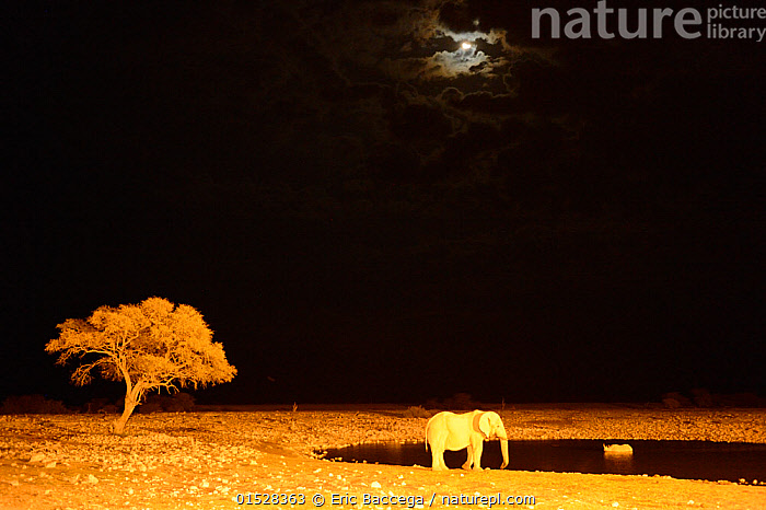 African elephant (Loxodonta africana) and black rhinoceros (Diceros bicornis) bathing at waterhole at night with moon, Okaukuejo, Etosha National Park, Namibia, Africa. Taken with infrared camera.  ,  catalogue8,,Animal,Vertebrate,Mammal,Odd toed ungulate,Rhinoceros,Black rhino,Black Rhinoceros,Elephant,African elephants,African elephant,Animalia,Animal,Wildlife,Vertebrate,Mammalia,Mammal,Perissodactyla,Odd toed ungulate,Rhinocerotidae,Rhinoceros,Rhino,Diceros,Black rhino,Diceros bicornis,Black Rhinoceros,Hook-lipped Rhinoceros,Proboscidea,Elephantidae,Elephant,Loxodonta,African elephants,Loxodonta africana,African elephant,Standing,Mood,Eerie,Alone,Solitude,Solitary,Two,Nobody,Dark,Darkness,Africa,Southern Africa,Namibia,South-West Africa,Copy Space,Lighting Technique,Plant,Tree,Moon,Sky,Water Hole,Water Holes,Outdoors,Open Air,Outside,Night,Freshwater,Water,Habitat,Drinking,Reserve,Mixed species,Protected area,National Park,Two animals,Negative space,Namibian,Insignificant,Etosha National Park,Okaukuejo,Endangered species,threatened,Critically endangered,Endangered  ,  Eric Baccega
