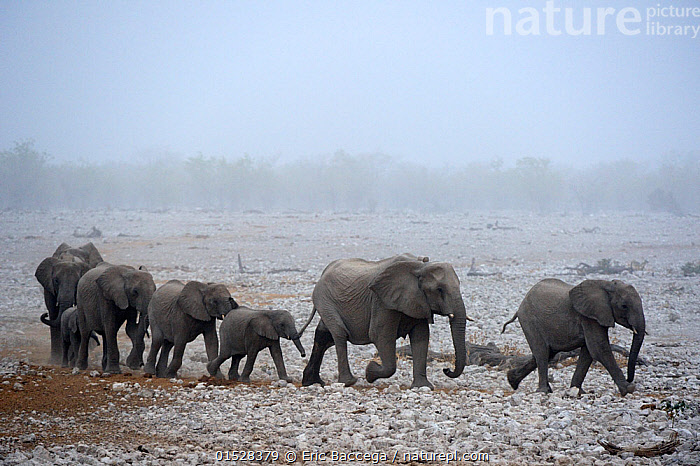 African elephant (Loxodonta africana) herd with calves, walking in procession to a waterhole in sand  storm, Etosha National Park, Namibia, Africa, Animal,Vertebrate,Mammal,Elephant,African elephants,African elephant,Animalia,Animal,Wildlife,Vertebrate,Mammalia,Mammal,Proboscidea,Elephantidae,Elephant,Loxodonta,African elephants,Loxodonta africana,African elephant,Group Of Animals,Herd,Herds,Group,Dry,Arid,Africa,Southern Africa,Namibia,South-West Africa,Young Animal,Juvenile,Babies,Baby Mammal,Calf,Tropical climate,Dry season,Habitat,Reserve,Protected area,National Park,Namibian,Lined up,Etosha National Park,Procession,Endangered species,threatened,Endangered, Eric Baccega
