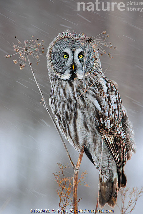 Great grey owl (Strix nebulosa) perched on dead umbellifer plant,  winter, Finland, February., Animal,Vertebrate,Bird,Birds,Owl,Ural owl,Animalia,Animal,Wildlife,Vertebrate,Aves,Bird,Birds,Strigiformes,Owl,Bird of prey,Strigidae,Striginae,Strix,Strix nebulosa,Europe,Eastern Europe,East Europe,Baltic Countries,Estonia,Weather,Snowing,Snowfall,Winter,, Sven  Zacek