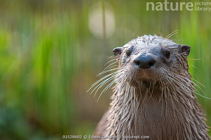 RF- North American river otter (Lutra canadensis)  captive, occurs in North America. (This image may be licensed either as rights managed or royalty free.)  ,  RF16Q4,,Animal,Vertebrate,Mammal,Carnivore,Mustelid,Otter,Canadian otter,Animalia,Animal,Wildlife,Vertebrate,Mammalia,Mammal,Carnivora,Carnivore,Mustelidae,Mustelid,Lontra,Otter,Lontra canadensis,Canadian otter,North American River Otter,Northern river otter,River otter,Lutra canadensis,Sadness,Nobody,Wet,North America,Close Up,Front View,Portrait,Animal Nose,Nose,Noses,Hair,Fur,Day,Nature,Whiskers,Direct Gaze,Negative space,Animal Hair,RF,Royalty free,RFCAT1,RF16Q4  ,  Edwin  Giesbers