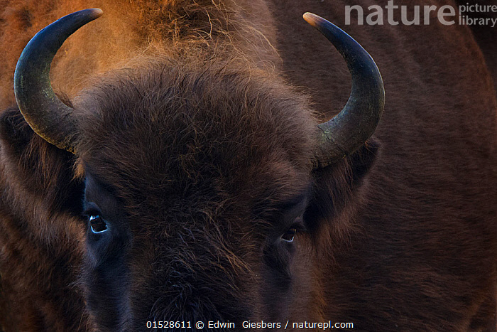 European bison (Bison bonasus) close up portrait showing horns, Zuid-Kennemerland National Park,  the Netherlands. January. Reintroduced species.  ,  catalogue8,,Animal,Vertebrate,Mammal,Bovid,Bison,European Bison,Animalia,Animal,Wildlife,Vertebrate,Mammalia,Mammal,Artiodactyla,Even-toed ungulates,Bovidae,Bovid,ruminantia,Ruminant,Bison,Bison bonasus,European Bison,Wisent,Threat,Menace,Menaces,Menacing,Threatening,Threats,Colour,Brown,Nobody,Part Of,Fluffy,Horned,Serious,Europe,Western Europe,The Netherlands,Holland,Netherlands,Full Frame,Close Up,Hair,Fur,Outdoors,Open Air,Outside,Reserve,Conservation,Wildlife conservation,Protected area,National Park,Horn,Reintroduction,Reintroduced,Brown Colour,Animal Hair,Zuid-Kennemerland National Park,Endangeerd species,Vulnerable  ,  Edwin  Giesbers