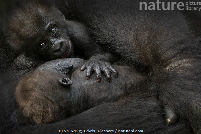 Western lowland gorilla (Gorilla gorilla gorilla) twin  babies age 45 days resting side by side in mother's arms, captive, occurs in Central Africa. Critically endangered.  ,  Animal,Vertebrate,Mammal,Ape,Gorilla,Western Gorilla,Western Lowland Gorilla,Animalia,Animal,Wildlife,Vertebrate,Mammalia,Mammal,Primate,Primates,Hominidae,Ape,Greater apes,Hominoidea,Gorilla,Gorilla gorilla,Western Gorilla,Lowland Gorilla,Resting,Rest,Sleeping,Sibling,Twins,Colour,Black,Two,Africa,Central Africa,Full Frame,Young Animal,Juvenile,Babies,Family,Western Lowland Gorilla,Endangered species,threatened,Critically endangered,,Great apes,  ,  Edwin  Giesbers