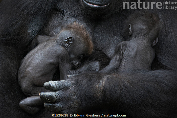 Western lowland gorilla (Gorilla gorilla gorilla) twin babies age 45 days sleeping in mother's arms, captive, occurs in Central Africa. Critically endangered.  ,  Animal,Vertebrate,Mammal,Ape,Gorilla,Western Gorilla,Western Lowland Gorilla,Animalia,Animal,Wildlife,Vertebrate,Mammalia,Mammal,Primate,Primates,Hominidae,Ape,Greater apes,Hominoidea,Gorilla,Gorilla gorilla,Western Gorilla,Lowland Gorilla,Resting,Rest,Sleeping,Sibling,Twins,Colour,Black,Two,Africa,Central Africa,Full Frame,Young Animal,Juvenile,Babies,Animal Limbs,Limb,Animal Hands,Hand,Hands,Family,Mother baby,Mother-baby,mother,Western Lowland Gorilla,Parent baby,Endangered species,threatened,Critically endangered,,Great apes,  ,  Edwin  Giesbers