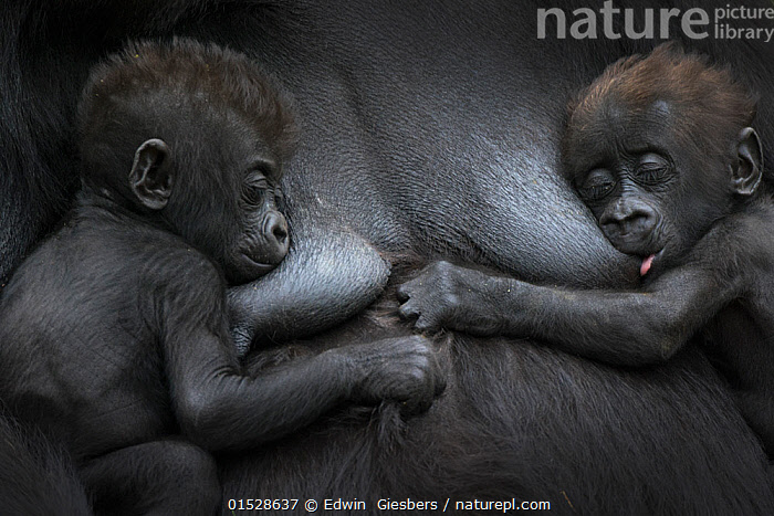 Western lowland gorilla (Gorilla gorilla gorilla) twin babies age 45 days resting on mother's chest, one suckling. captive, occurs in Central Africa. Critically endangered.  ,  catalogue8,,Animal,Vertebrate,Mammal,Ape,Gorilla,Western Gorilla,Western Lowland Gorilla,Animalia,Animal,Wildlife,Vertebrate,Mammalia,Mammal,Primate,Primates,Hominidae,Ape,Greater apes,Hominoidea,Gorilla,Gorilla gorilla,Western Gorilla,Lowland Gorilla,Gesturing,Eyes Closed,Closed Eye,Closed Eyes,Eye Closed,Eye Shut,Eyes Shut,Shut Eyes,Resting,Rest,Sibling,Siblings,Twins,Twin,Dependency,Dependancy,Colour,Black,Few,Three,Two,Group,Nobody,Africa,Central Africa,Full Frame,Close Up,Young Animal,Juvenile,Babies,Outdoors,Open Air,Outside,Captivity,Conservation,Family,Mother baby,Mother-baby,mother,Western Lowland Gorilla,Parent baby,Three Animals,Critically Endangered,Reliance,Endangered species,threatened,Critically endangered,,Great apes,  ,  Edwin  Giesbers