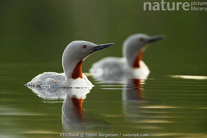 Red throated diver (Gavia stellata) pair on water with reflection, Troms, Norway, June.  ,  Animal,Vertebrate,Bird,Birds,Diver,Red throated diver,Animalia,Animal,Wildlife,Vertebrate,Aves,Bird,Birds,Gaviiformes,Gaviidae,Diver,Loon,Gavia,Gavia stellata,Red throated diver,Red throated loon,Two,Europe,Northern Europe,North Europe,Nordic Countries,Scandinavia,Norway,Reflection,Water,Male female pair,  ,  Espen Bergersen