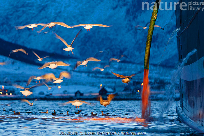 Gulls (Laridae) seaching for food in water containing blood coming from a large fishing boat, Tromvik, Kvaloya, Troms, Norway, November 2014.  ,  catalogue8,,Animal,Vertebrate,Bird,Birds,Gull,Animalia,Animal,Wildlife,Vertebrate,Aves,Bird,Birds,Charadriiformes,Laridae,Gull,Seabird,Flying,Atmospheric Mood,Atmospheric,Hunger,Appetite,Hungry,Above,Group Of Animals,Flock,Flocking,Flocks,Group,Large Group,Nobody,Europe,Northern Europe,North Europe,Nordic Countries,Scandinavia,Norway,Tromso,Troms,Photographic Effect,Blurred Motion,Blurred Movement,Pipe,Pipes,Boat,Boats,Fishing Boat,Snow,Outdoors,Open Air,Outside,Twilight,Evening,Day,Fishing Industry,Fishing Industries,Coast,Marine,Coastal,Water,Feeding,Scavenging,Working-boats,Saltwater,Sea,Fisheries,Fishery,Fishing,Dusk,Flight,Seagulls,View to land,Kvaloya,Side,Tromvik,  ,  Espen Bergersen