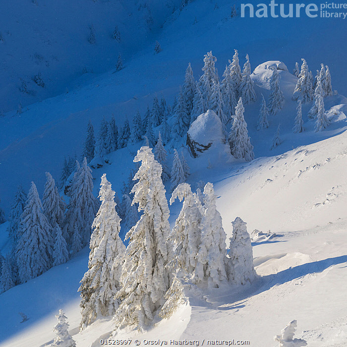 Norway spruce (Picea abies) trees covered in snow, Ciuc Mountains, Transylvania, Romania, January 2015., catalogue8,,Plant,Vascular plant,Conifer,Spruce tree,Norway spruce tree,Plantae,Plant,Tracheophyta,Vascular plant,Pinopsida,Conifer,Gymnosperm,Spermatophyte,Pinophyta,Coniferophyta,Coniferae,Spermatophytina,Gymnospermae,Pinales,Pinaceae,Picea,Spruce tree,Spruce,Picea abies,Norway spruce tree,European spruce,Picea excelsa,Abies alpestris,Pinus abies,Frozen,Nobody,Temperature,Cold,Europe,Eastern Europe,East Europe,Romania,Square Image,High Angle View,Tree,Spruce Tree,Spruce Trees,Spruces,Mountain,Light,Lights,Shadow,Sunlight,Snow,Landscape,Landscapes,Outdoors,Open Air,Outside,Winter,Day,Forest,Elevated view,Transylvania,Coniferous,Tree,Trees, Orsolya Haarberg