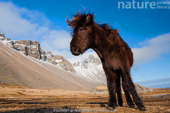Young Icelandic horse near Stokkness, Iceland, March., Equus ferus caballus,Equus caballus,Low Angle View,Portrait,Animal,Mountain,Sky,Cloud,Landscape,Domestic animal,Domestic Horse,Icelandic horse,Domesticated,Equus ferus caballus,Equus caballus,Horse,Mammal,Portraits,Mountainous,Mountains,Skies,Clouds,Landscapes,Horses,Animals,Mammals,Equus ferus caballus,Equus caballus,high16, Niall Benvie