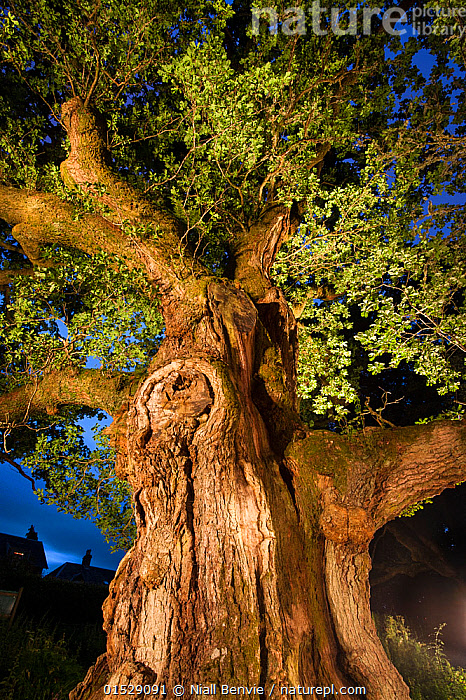 The Birnam Oak, an ancient English oak tree (Quercus robur) nearly 1000 years old, Perthshire, Scotland, UK, July., Plant,Vascular plant,Flowering plant,Rosid,Oak,Pedunculate oak,Plantae,Plant,Tracheophyta,Vascular plant,Magnoliopsida,Flowering plant,Angiosperm,Seed plant,Spermatophyte,Spermatophytina,Angiospermae,Fagales,Rosid,Dicot,Dicotyledon,Rosanae,Fagaceae,Quercus,Oak,Oak tree,Quercus robur,Pedunculate oak,English oak tree,French oak,Quercus pedunculata,Quercus longaeva,Ancient,Europe,Western Europe,UK,Great Britain,Scotland,Low Angle View,Tree,Deciduous,Night,Perthshire,Plants,Angiosperms,Spermatophytes,Rosids,Dicots,Dicotyledons,Oaks,Oak trees,Trees,Nights,Plant,Vascular plant,Flowering plant,Rosid,Oak,Pedunculate oak,high16, Niall Benvie