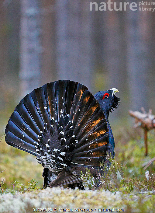 Male Capercaillie (Tetrao urogallus) displaying, Jalasjarvi, Finland, April., catalogue8,,Animal,Vertebrate,Bird,Birds,Grouse,Capercaillie,Animalia,Animal,Wildlife,Vertebrate,Aves,Bird,Birds,Galliformes,Galliforms,Galloanserae,Phasianidae,Tetrao,Grouse,Tetraonidae,Tetraoninae,Tetrao urogallus,Capercaillie,Wood grouse,Heather cock,Western capercaille,Showing Off,Attention Seeking,Seeking Attention,Walking,Head Back,Head Cocked,Nobody,Europe,Northern Europe,North Europe,Nordic Countries,Finland,Vertical,Rear View,Male Animal,Feather,Feathers,Tail,Outdoors,Open Air,Outside,Day,Woodland,Animal Behaviour,Display,Forest,Behaviour,Displaying,Tail Feather,Haughty,Jalasjarvi,Gamebird,Gamebirds,Game bird,Game birds, Markus Varesvuo