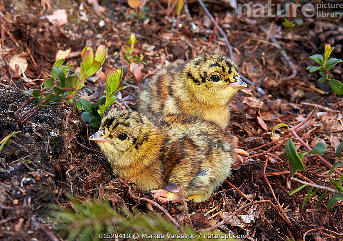 Two Capercaillie (Tetrao urogallus) chicks, Vaala, Finland, June., Animal,Vertebrate,Bird,Birds,Grouse,Capercaillie,Animalia,Animal,Wildlife,Vertebrate,Aves,Bird,Birds,Galliformes,Galliforms,Galloanserae,Phasianidae,Tetrao,Grouse,Tetraonidae,Tetraoninae,Tetrao urogallus,Capercaillie,Wood grouse,Heather cock,Western capercaille,Cute,Adorable,Two,Fluffy,Europe,Northern Europe,North Europe,Nordic Countries,Finland,High Angle View,Young Animal,Juvenile,Babies,Chick,Forest,Elevated view,Gamebird,Gamebirds,Game bird,Game birds, Markus Varesvuo