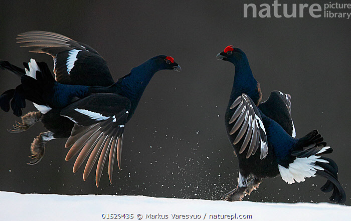 Two male Black grouse (Tetrao / Lyrurus tetrix) fighting, Kuusamo, Finland, April.  ,  catalogue8,,Animal,Vertebrate,Bird,Birds,Grouse,Black grouse,Animalia,Animal,Wildlife,Vertebrate,Aves,Bird,Birds,Galliformes,Galliforms,Galloanserae,Phasianidae,Tetrao,Grouse,Tetraonidae,Tetraoninae,Tetrao tetrix,Black grouse,Eurasian black grouse,Blackgame,Confronting,Confronts,Rivalry,Rival,Rivals,Face To Face,Face Each Other,Facing Each Other,Two,Nobody,Pattern,Patterned,Patterns,Europe,Northern Europe,North Europe,Nordic Countries,Finland,Full Length,Full Lengths,Whole,Profile,Side View,Male Animal,Feather,Feathers,Snow,Outdoors,Open Air,Outside,Day,Animal Behaviour,Aggression,Fighting,Behaviour,Crest,Plumage,Two animals,Animal marking,Lyurus tetrix,Northern Black Grouse,Gamebird,Gamebirds,Game bird,Game birds  ,  Markus Varesvuo