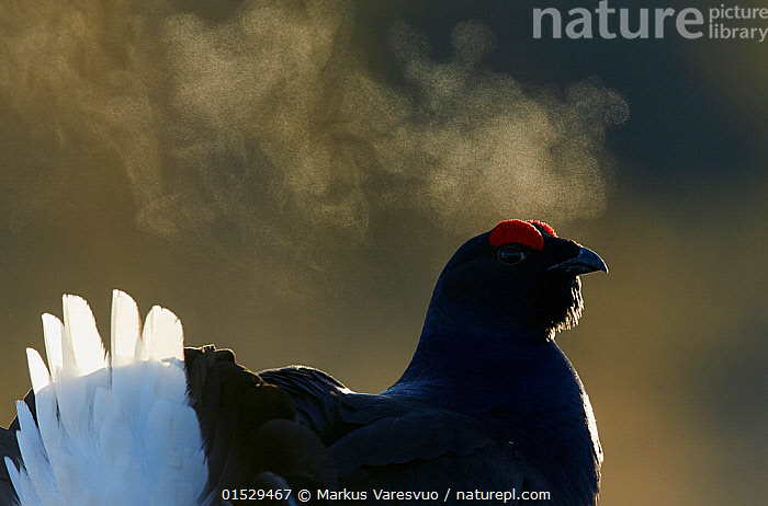 Male Black grouse (Tetrao / Lyrurus tetrix) with breath visible in cold, Liminka, Finland, March., Animal,Vertebrate,Bird,Birds,Grouse,Black grouse,Animalia,Animal,Wildlife,Vertebrate,Aves,Bird,Birds,Galliformes,Galliforms,Galloanserae,Phasianidae,Tetrao,Grouse,Tetraonidae,Tetraoninae,Tetrao tetrix,Black grouse,Eurasian black grouse,Blackgame,Temperature,Cold,Europe,Northern Europe,North Europe,Nordic Countries,Finland,Back Lit,Backlit,Male Animal,Breath,Lyurus tetrix,Northern Black Grouse,Gamebird,Gamebirds,Game bird,Game birds, Markus Varesvuo