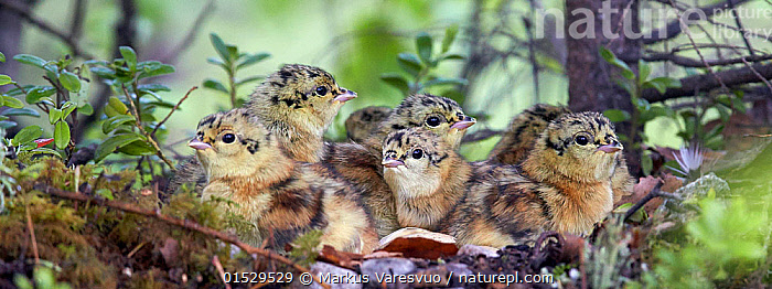 Capercaillie (Tetrao urogallus) chicks huddled together, Kuhmo, Finland, June., Animal,Vertebrate,Bird,Birds,Grouse,Capercaillie,Animalia,Animal,Wildlife,Vertebrate,Aves,Bird,Birds,Galliformes,Galliforms,Galloanserae,Phasianidae,Tetrao,Grouse,Tetraonidae,Tetraoninae,Tetrao urogallus,Capercaillie,Wood grouse,Heather cock,Western capercaille,Cute,Adorable,Group,Europe,Northern Europe,North Europe,Nordic Countries,Finland,Young Animal,Juvenile,Babies,Chick,Forest,Gamebird,Gamebirds,Game bird,Game birds, Markus Varesvuo