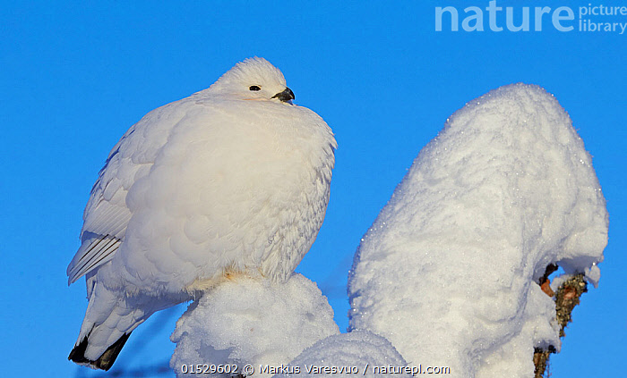 Willow grouse / Ptarmigan (Lagopus lagopus) fluffed up perched in snow, Inari, Finland, February., Animal,Vertebrate,Bird,Birds,Grouse,Willow grouse,Animalia,Animal,Wildlife,Vertebrate,Aves,Bird,Birds,Galliformes,Galliforms,Galloanserae,Phasianidae,Lagopus,Grouse,Tetraonidae,Tetraoninae,Lagopus lagopus,Willow grouse,Willow ptarmigan,Colour,White,Fluffy,Temperature,Cold,Europe,Northern Europe,North Europe,Nordic Countries,Finland,Snow,Colour-phases,Winter plumage,White colour,Gamebird,Gamebirds,Game bird,Game birds, Markus Varesvuo