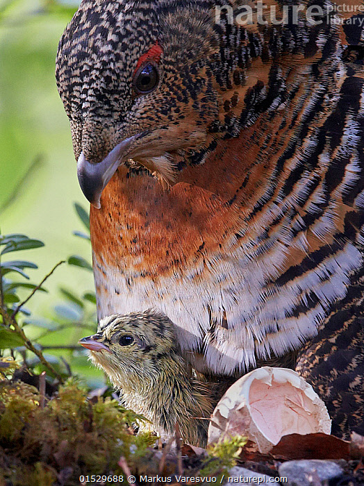 Female Capercaillie (Tetrao urogallus) with newly hatched chick on nest, Kuhmo, Finland, June., catalogue8,,Animal,Vertebrate,Bird,Birds,Grouse,Capercaillie,Animalia,Animal,Wildlife,Vertebrate,Aves,Bird,Birds,Galliformes,Galliforms,Galloanserae,Phasianidae,Tetrao,Grouse,Tetraonidae,Tetraoninae,Tetrao urogallus,Capercaillie,Wood grouse,Heather cock,Western capercaille,New Beginnings,Begin,New Life,Protection,Two,Nobody,Europe,Northern Europe,North Europe,Nordic Countries,Finland,Vertical,Close Up,Portrait,Young Animal,Juvenile,Babies,Hatchling,Hatchlings,Chick,Female animal,Animal Eggs,Egg,Eggs,Beak,Beaks,Feather,Feathers,Animal Home,Nest,Outdoors,Open Air,Outside,Day,Nature,Natural,Natural World,Wild,Forest,Family,Mother baby,Mother-baby,mother,Plumage,Two animals,Parent baby,Beginnings,Eggshell,Protector,Gamebird,Gamebirds,Game bird,Game birds, Markus Varesvuo