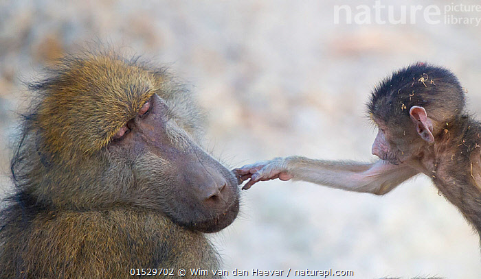 Chacma Baboon (Papio hamadryas ursinus) baby gently touching the face of the dominant male baboon. Chobe National Park Botswana.  ,  Animal,Vertebrate,Mammal,Monkey,Baboon,Chacma baboon,Animalia,Animal,Wildlife,Vertebrate,Mammalia,Mammal,Primate,Primates,Cercopithecidae,Monkey,Old World Monkeys,Papio,Baboon,Papionini,Papio ursinus,Chacma baboon,Touching,Touch,Africa,Southern Africa,Botswana,Young Animal,Juvenile,Babies,Male Animal,  ,  Wim van den Heever