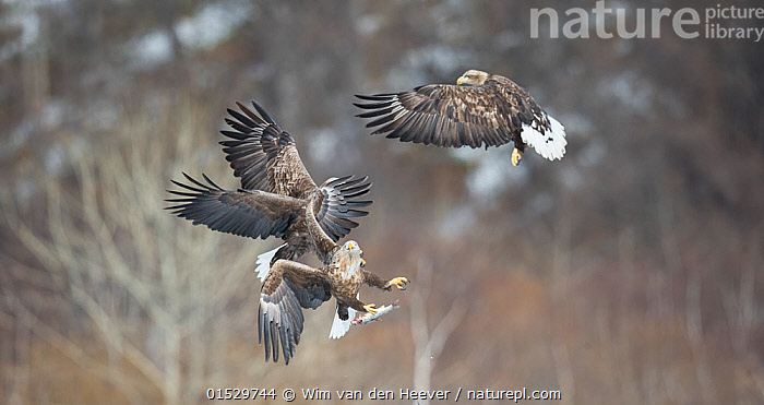 White tailed sea eagle (Haliaeetus albicilla) group of three fighting, Hokkaido Japan, March.  ,  catalogue8,,Animal,Vertebrate,Bird,Birds,Sea eagle,White tailed sea eagle,Animalia,Animal,Wildlife,Vertebrate,Aves,Bird,Birds,Accipitriformes,Accipitridae,Haliaeetus,Sea eagle,Eagle,Bird of prey,Raptor,Haliaeetus albicilla,White tailed sea eagle,White tailed eagle,Flying,On The Move,Rivalry,Rival,Rivals,Mid Air,Few,Three,Group,Nobody,Asia,East Asia,Japan,Hokkaido,Wing,Wings,Outdoors,Open Air,Outside,Day,Nature,Natural,Natural World,Wild,Animal Behaviour,Aggression,Fighting,Behaviour,Flight,Wings spread,Wingspan,Three Animals,Moving,  ,  Wim van den Heever