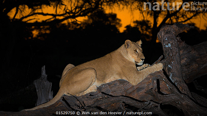 a0266cfbe9 Nature Picture Library - Lioness (Panthera leo) on fallen tree at ...