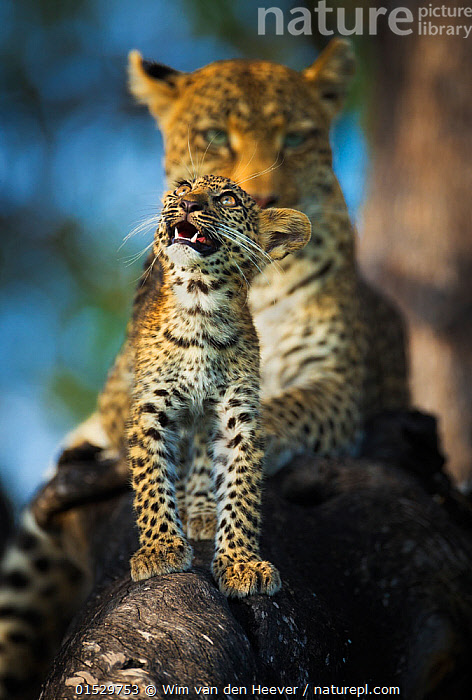 Leopard (Panthera pardus) cub looking up at birds (out of frame) with mother in background,  Khwai River, Botswana. Highly commended in the Mammals category of the Asferico Photography Competition 2018.  ,  catalogue8,,Animal,Vertebrate,Mammal,Carnivore,Cat,Big cat,Leopard,Animalia,Animal,Wildlife,Vertebrate,Mammalia,Mammal,Carnivora,Carnivore,Felidae,Cat,Panthera,Big cat,Panthera pardus,Leopards,Alertness,Alert,Curiosity,Two,Nobody,Pattern,Patterned,Patterns,Distracted,Africa,Southern Africa,Botswana,Close Up,Camera Focus,Selective Focus,Focus On Foreground,Focus On Foregrounds,Young Animal,Juvenile,Babies,Baby Mammal,Cub,Outdoors,Open Air,Outside,Day,Nature,Natural,Natural World,Wild,Leopard,Family,Mother baby,Mother-baby,mother,Two animals,Shallow depth of field,Low depth of field,Parent baby,Animal marking,Khwai River,  ,  Wim van den Heever