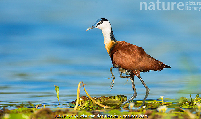 African jacana (Actophilornis africanus) male holding his youngsters safely under his wings whilst walking. Chobe National Park, Botswana., Animal,Vertebrate,Bird,Birds,Jacana,African jacana,Animalia,Animal,Wildlife,Vertebrate,Aves,Bird,Birds,Charadriiformes,Jacanidae,Jacana,Lily trotter,Jesus bird,Wader,Shorebird,Actophilornis,Actophilornis africana,African jacana,Greater African Jacana,Actophilornis africanus,Carries,Carry,Care,Caring,Africa,Southern Africa,Botswana,Male Animal,Animal Behaviour,Parental behaviour,Behaviour,Parental,Interesting,Chobe National Park,, Wim van den Heever